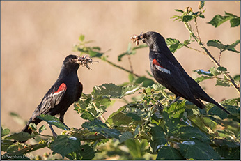 tricolored blackbird with insect prey for nestlings - Click to enlarge image in new window