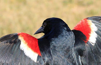 close up of male tricolored blackbird - Click to enlarge image in new window