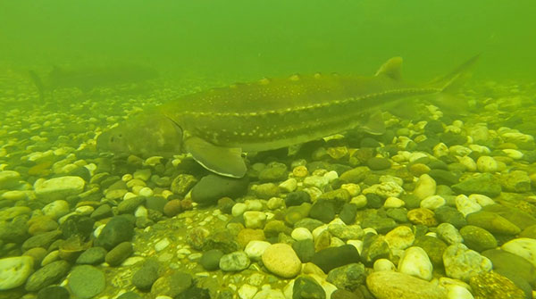 white sturgeon at bottom of river