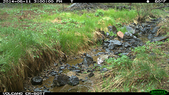 Photo from trail camera documenting flow near endpoint of Volcanic Creek in June 2014.  Photo: CDFW.