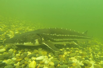Photo of adult Green Sturgeon
