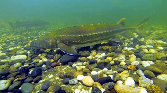 White Sturgeon underwater over cobble