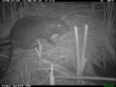 The dark ear and lighter fur underneath help distinguish nutria from other mammals, particularly in night photos. CDFW photo.