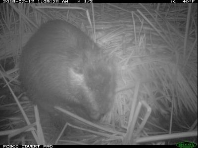 Nutria have dark ears with lighter fur below. CDFW photo.