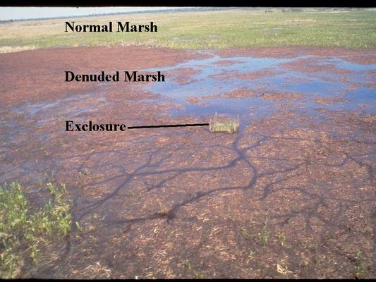 Aerial photo of normal and damaged marsh