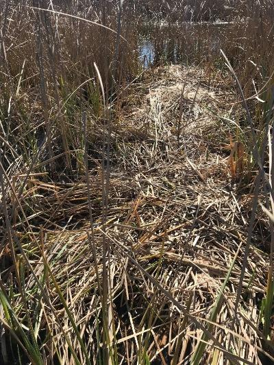 Cut and dried cattails piled in marsh