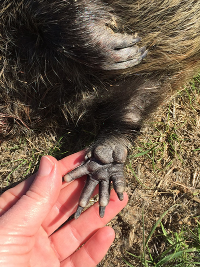 Nutria front foot showing the 5th residual toe, which is not visible in nutria tracks. CDFW photo.