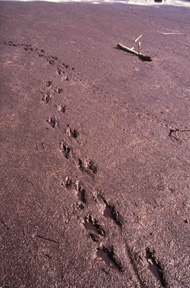Nutria tracks and tail drag in mud
