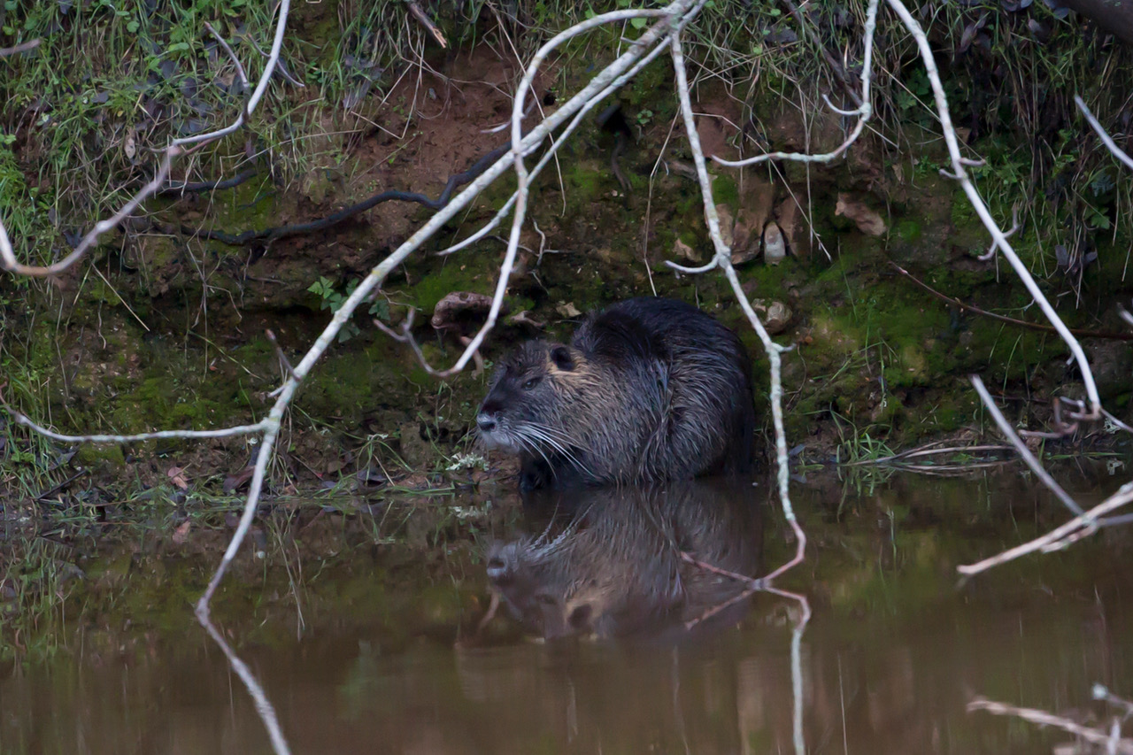 Adult nutria in Tuolumne County, 2017. Photo courtesy of Peggy Sells.