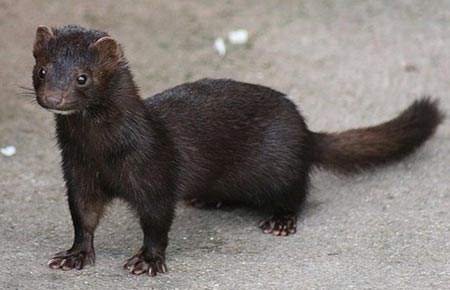 Dark brown weasel-like mink