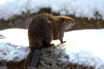 Beaver sitting on snowy bank