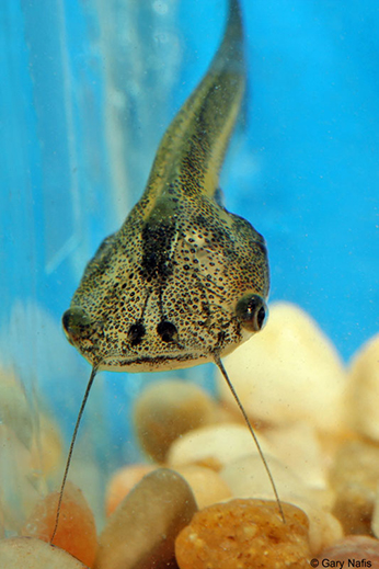 African clawed frog tadpole with distinguishing barbels