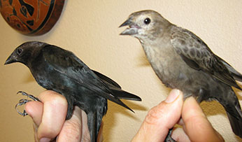Male (L) and female (R) brown-headed cowbirds