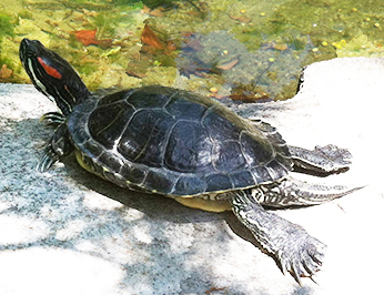An adult red-eared slider basking on a warm rock