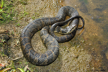 Adult Northern Watersnake