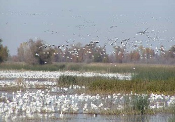 birds floating on and flying above marsh