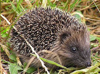 hedgehog, photo (c) Tony Wills