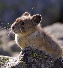 Photo of American Pika