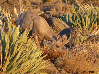 Desert Ewe browsing on cactus
