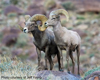 Rams sharing a rock perch in the desert