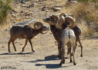 Low-stretch behavior among rams