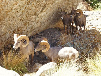 Desert rams in shade of large boulder