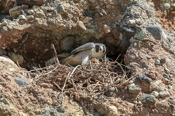 Peregrine On Nest © DeeDee Gollwitzer, all rights reserved