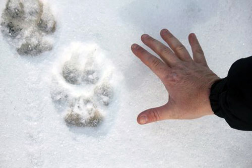 Wolf track in snow. Photo by Linda Hay.