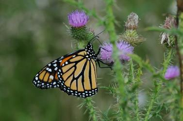 Monarch butterfly nectaring on thistle.