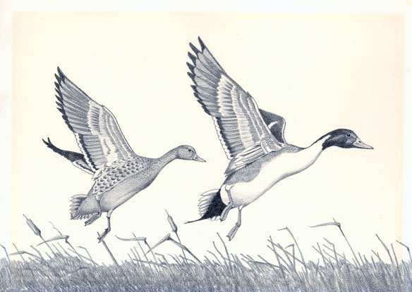 1971 pintail illustration by Paul B. Johnson
