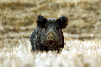 how to keep wild pigs away