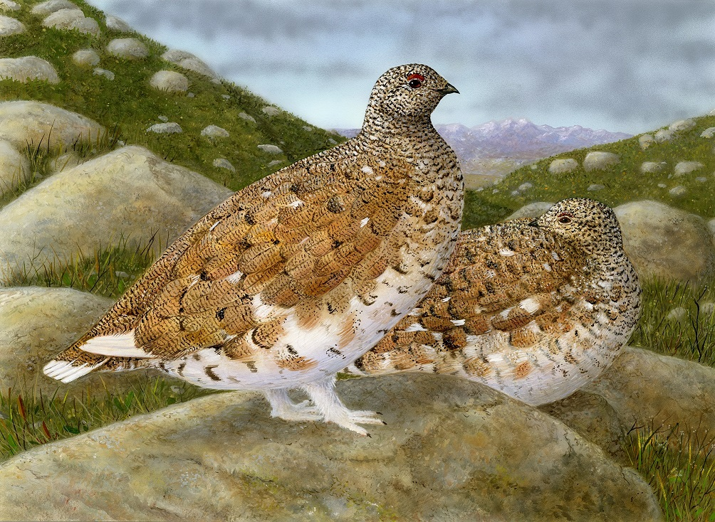 2018 white-tailed ptarmigan Jeffrey Klinefelter - click to enlarge in new window