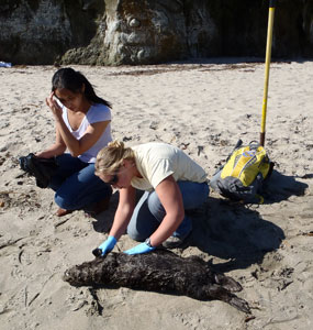 An immature stranded sea otter being examined by CDFW scientists at the beach