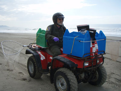 CDFW scientist transporting oiled seabirds on an ATV.