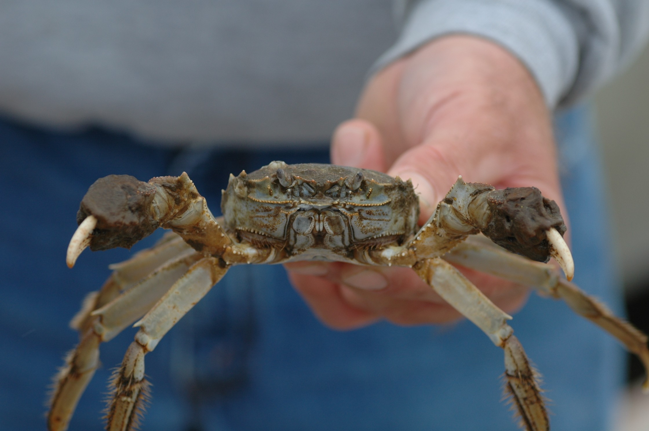 An image of the Chinese mitten crab Eriocheir sinensis