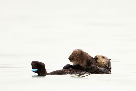 An oiled otter that had been washed, rehabilitated, and released is later seen holding her first pup.