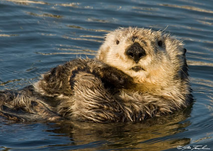 A Southern Sea Otter grooming itself in Morro Bay.