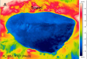 Thermograph and photo of the ventrum of a Pacific Loon during a waterproofing evaluation
