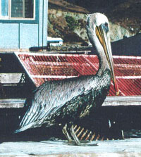 Oiled, still living pelican