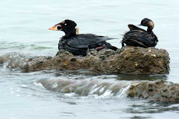 Oiled Surf Scoter and Eared Grebe. Photo by Bob Dang