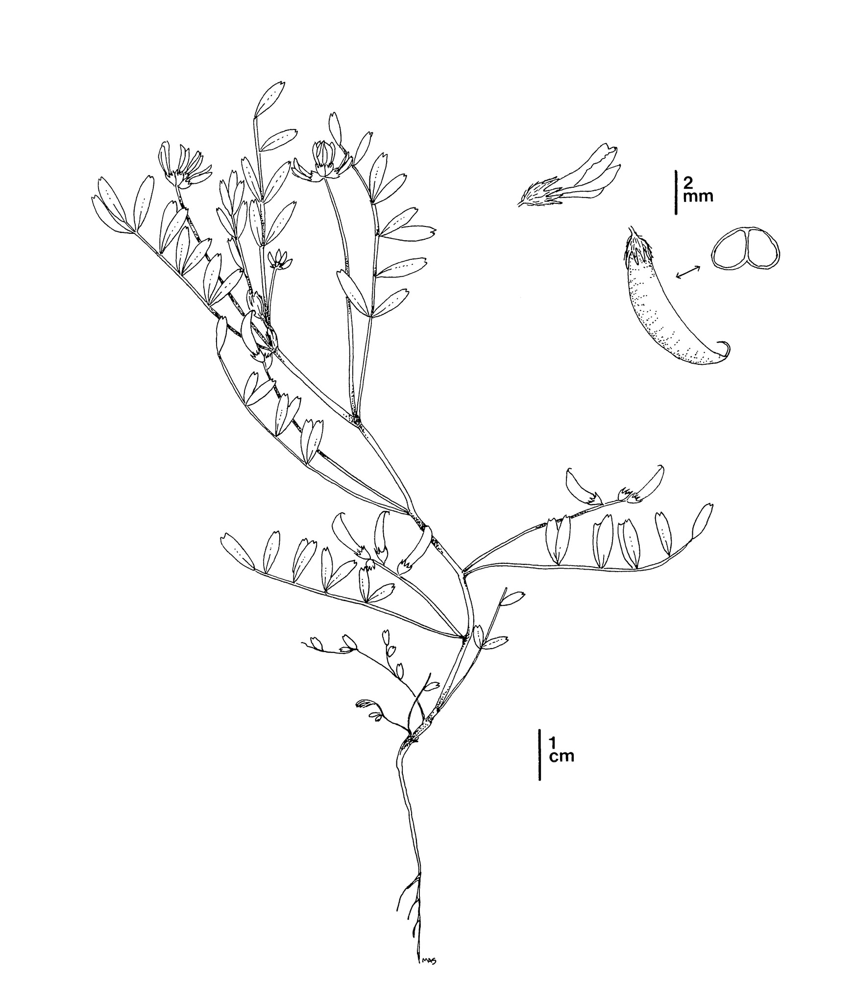 Line Drawing of Astragalus tener var. titi by Mary Ann Showers - click to enlarge in new window