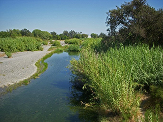 Arundo donax invading a riparian zone, photo © Neal Kramer