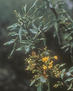 Berberis nevinii in San Timoteo Canyon, CDFW photo by Susan Cochrane