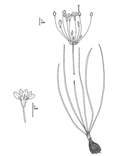 Brodiaea filifolia CDFW illustration by Mary Ann Showers, click for full-sized image