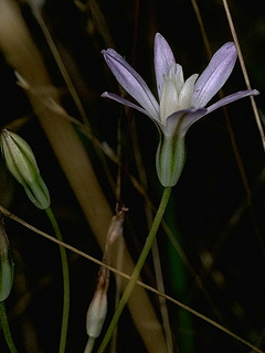 Brodiaea pallida, Photo © John Game