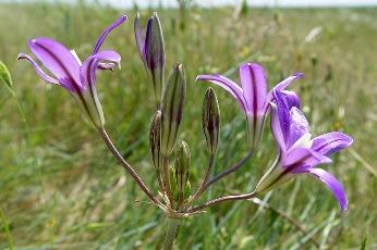 Photo of Indian Valley brodiaea flowers