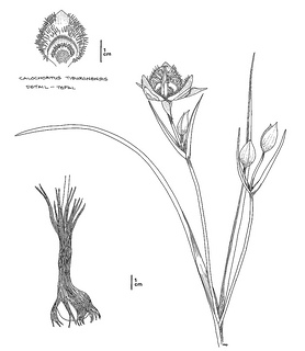 Calochortus tiburonensis CDFW illustration by Mary Ann Showers, click for full-sized image