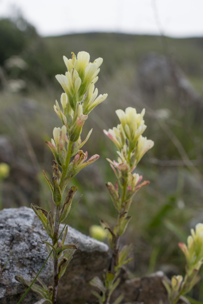 A photo of Tiburon paintbrush highlighting two inflorescences. The top bracts are yellow and fade into a cream color towards the tips. Bracts towards the base of the inflorescence are reddish-pink at the tips. The two inflorescences are slender and set in front of a backdrop of rolling hills. The hilly scenery is out of focus to further draw attention to the flowers.