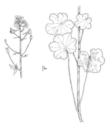 Delphinium bakeri, CDFW illustration by Mary Ann Showers