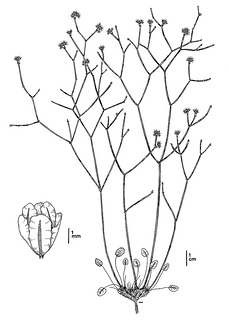 Eriogonum apricum var. apricum CDFW illustration by Mary Ann Showers, click for full-sized image